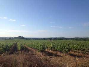 Vineyards in the South of France